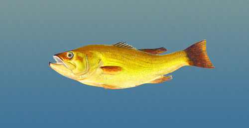 """Man Catches """"Golden Bass"""""""